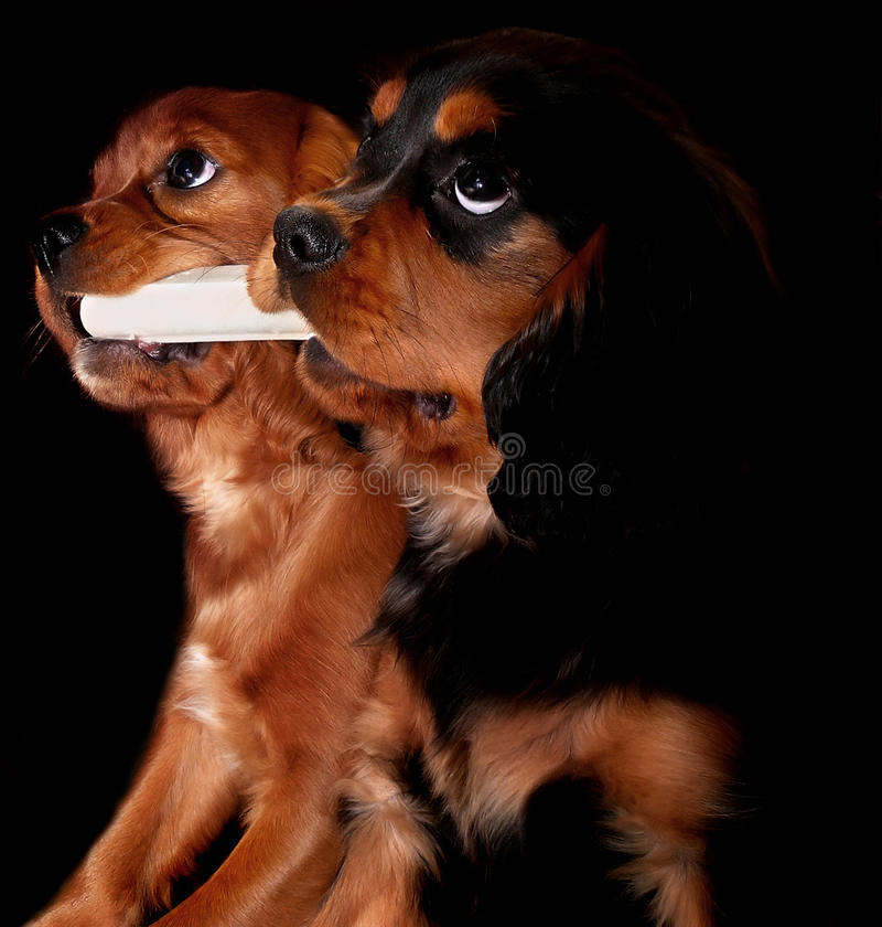 Puppies with a bone. Two Cavalier King Charles puppies sharing a bone stock photos