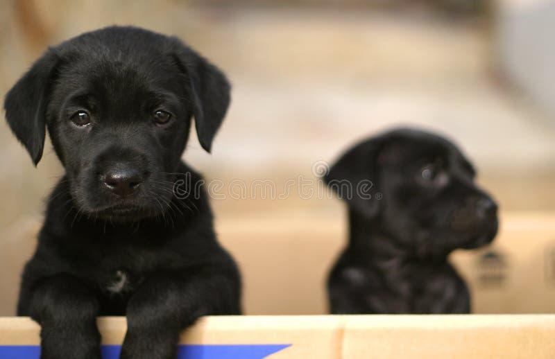 Puppies in a box. Black Labrador puppies in a cardboard box