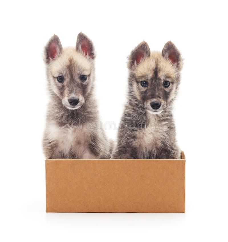 Puppies in the box. Puppies in the box on a white background stock photo