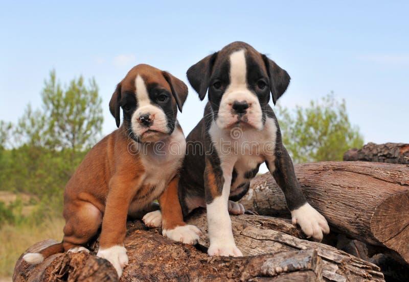 Puppies boxer royalty free stock photos