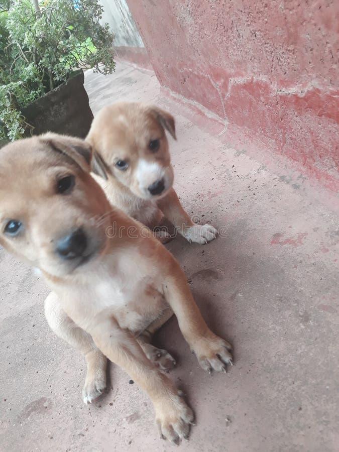puppies imagem de stock royalty free