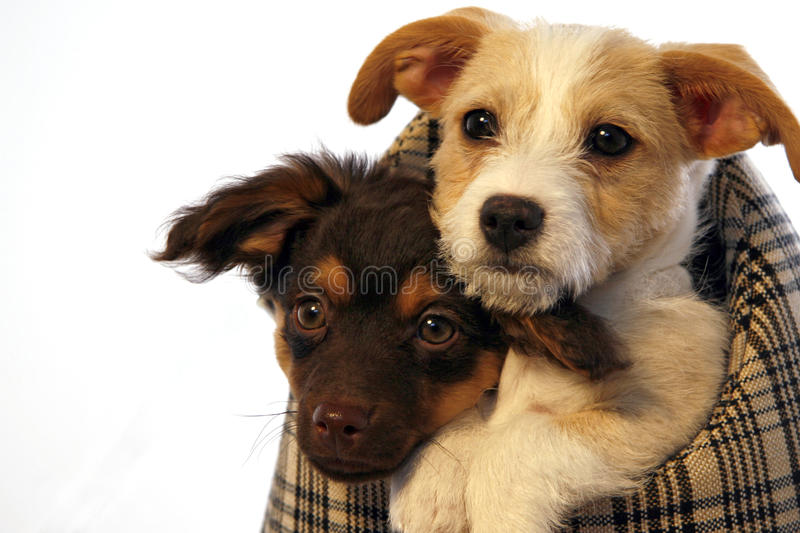 Puppies in a carrier bag. Two puppies in a carrier bag royalty free stock photo