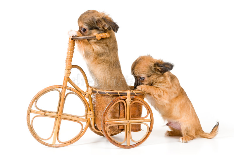 Download The Puppies Chihuahua On A Bicycle Stock Photo - Image: 6756162
