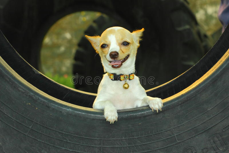 Puppies,chihuahua , puppy chihuahua cute stock image