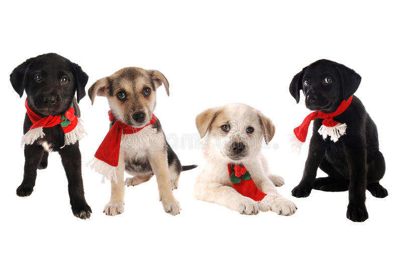 Download Puppies In Christmas Holiday Scarves Stock Image - Image: 27999209