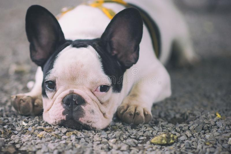 Puppies are crouched in a cute way royalty free stock image