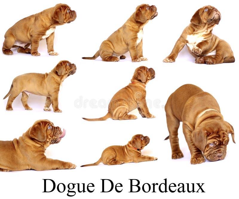 Puppies Dogue de Bordeaux fotografie stock libere da diritti