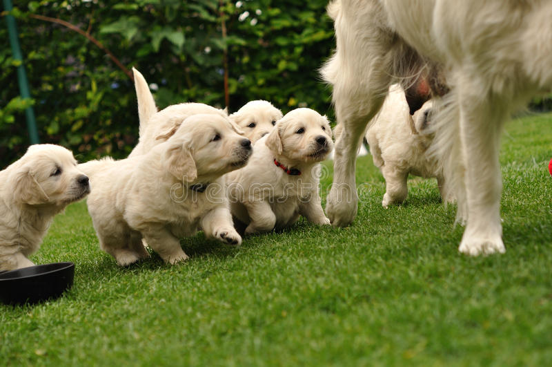 Puppies flocking after their mother. On garden green grass royalty free stock photos