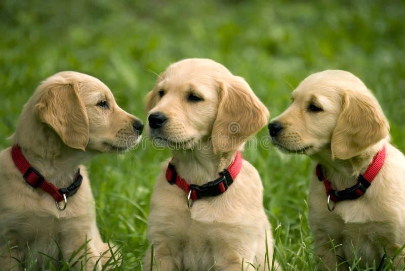 Puppies of golden retriever. Three puppies of golden retriever in grass stock photography