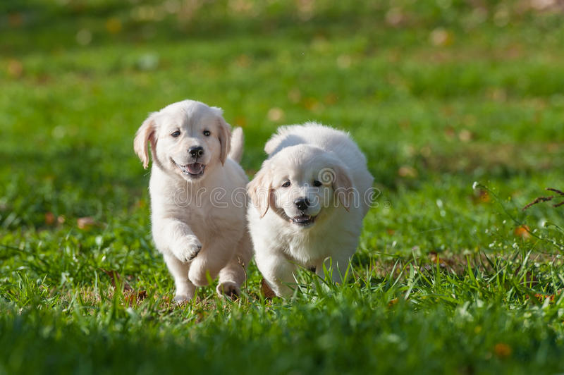 Puppies of Golden retriever stock photo