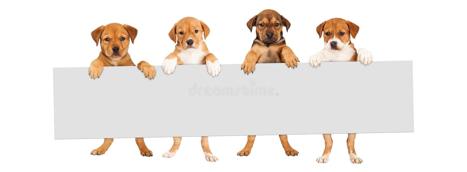 Puppies Hanging Over Banner. Four mixed Shepherd breed puppy dogs holding a blank sign to enter text onto royalty free stock photos