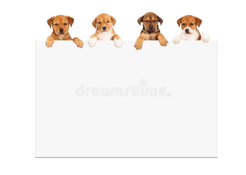Puppies Hanging Over White Sign. Four adorable eight week old mixed Shepherd breed puppy dogs hanging over large white sign stock photo