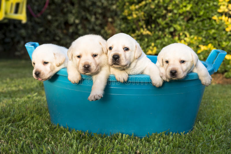 Puppies having a summer bath. Four Labrador puppies enjoying the summer time in the garden taking a bath