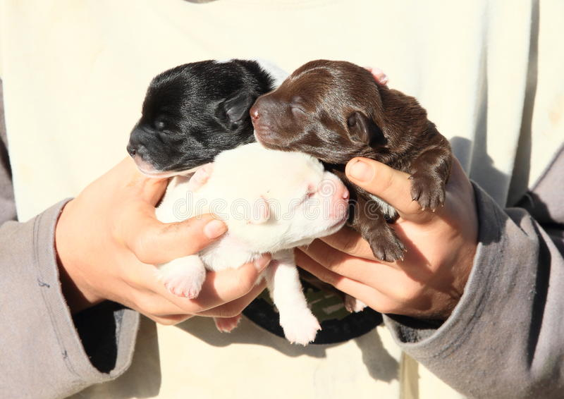 Puppies holded in kids hands. Three blind puppies - black, brown and white - holded in hands of a boy stock images