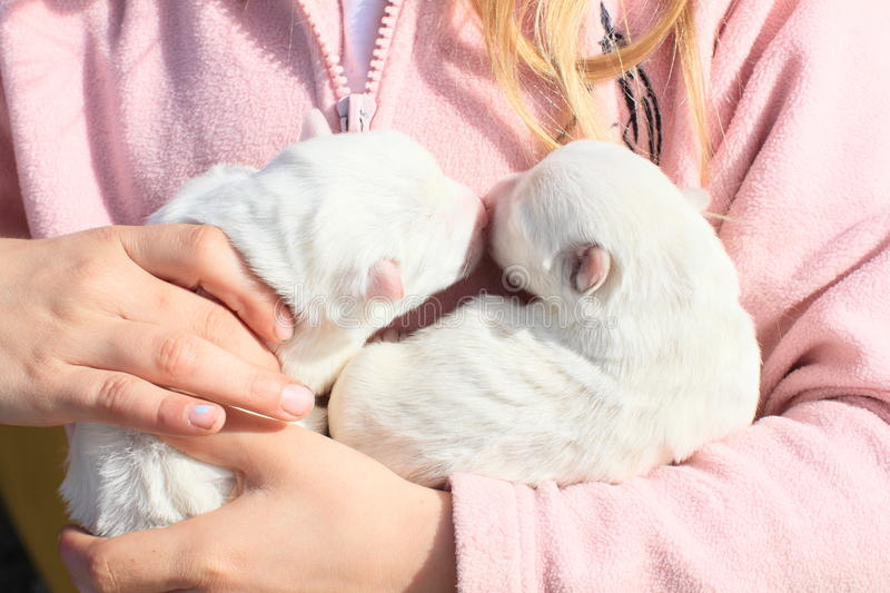 Puppies holded in kids hands. Two white blind puppies kissing each other holded in hands of a little girl in pink royalty free stock photos