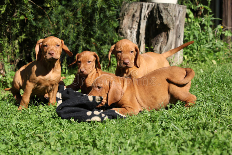 Puppies of Hungarian Short-haired Pointing Dog stock image