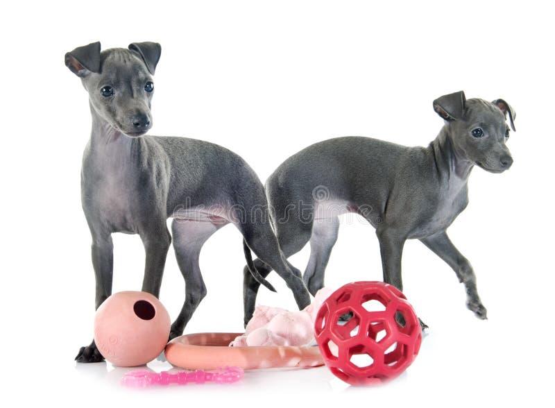 Puppies italian greyhound royalty free stock photography