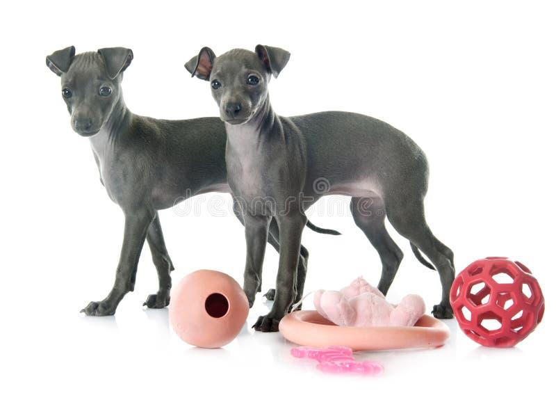 Puppies italian greyhound royalty free stock image