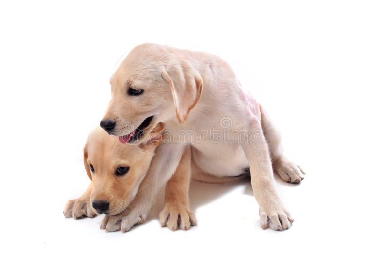 Puppies labrador retriever royalty free stock images