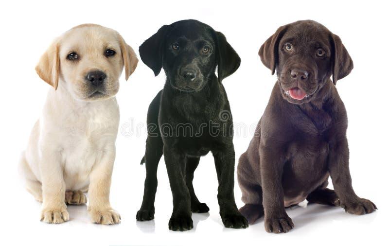 Puppies labrador retriever stock image