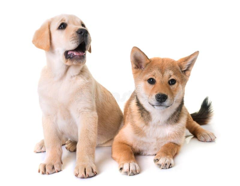 Puppies labrador retriever and shiba inu royalty free stock images