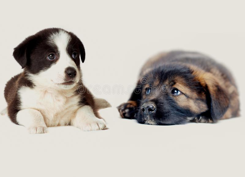 Puppies lounging. Lying on floor stock photos