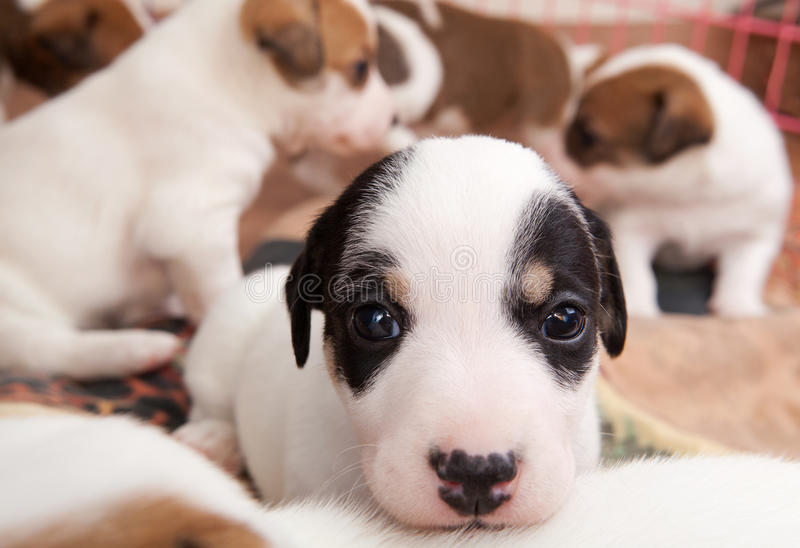 Puppies 2 months old royalty free stock photos