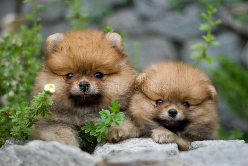 Puppies in nature. Couple of spitz puppies in stones and green
