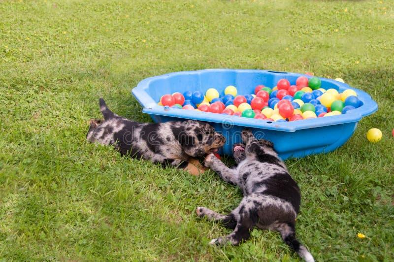 Puppies play. royalty free stock photos