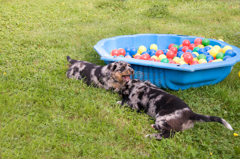 Puppies play. royalty free stock photo