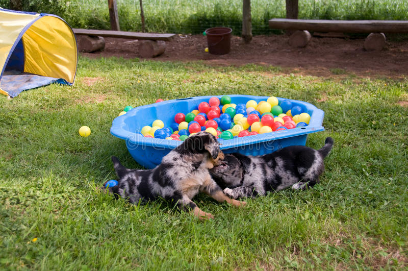 Puppies play. stock images