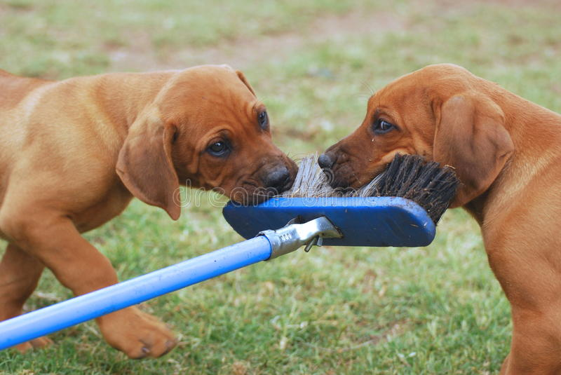 Puppies playing with broom royalty free stock image