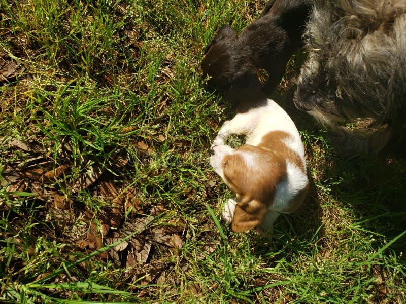 puppies fotografie stock libere da diritti