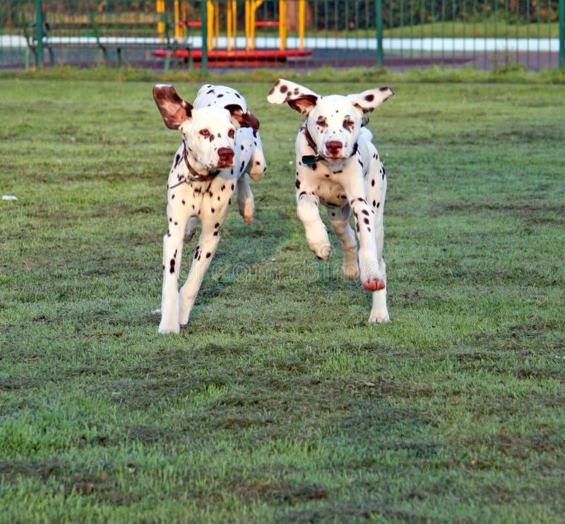 Free Puppies Running Stock Image - 8758401