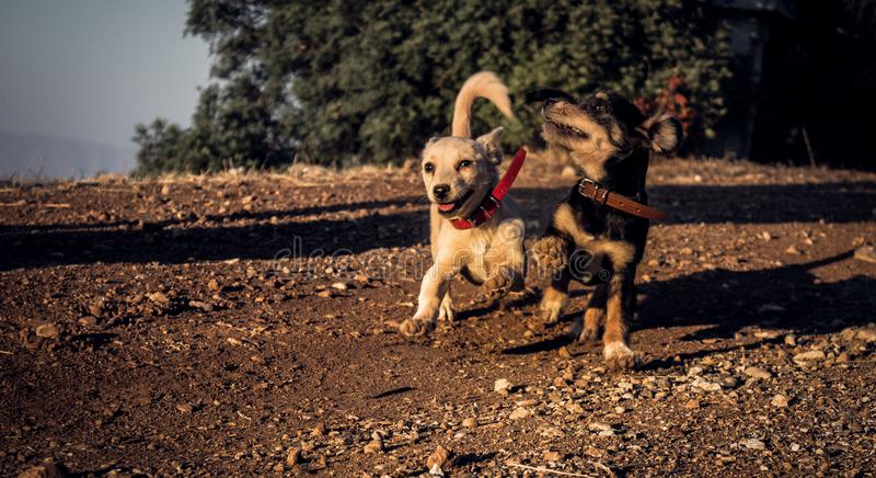Puppies running royalty free stock photos
