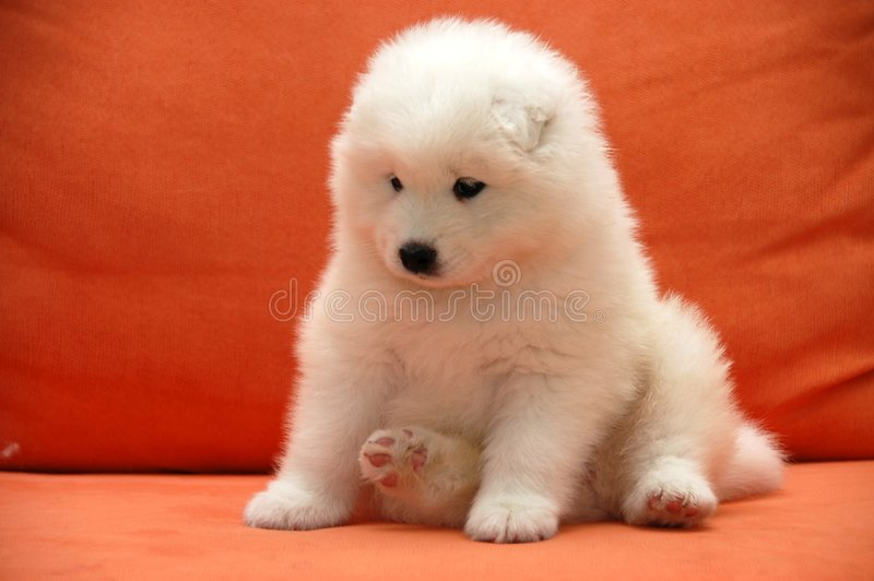Download Puppies Samoyede stock image. Image of wite, little, sled - 5979931