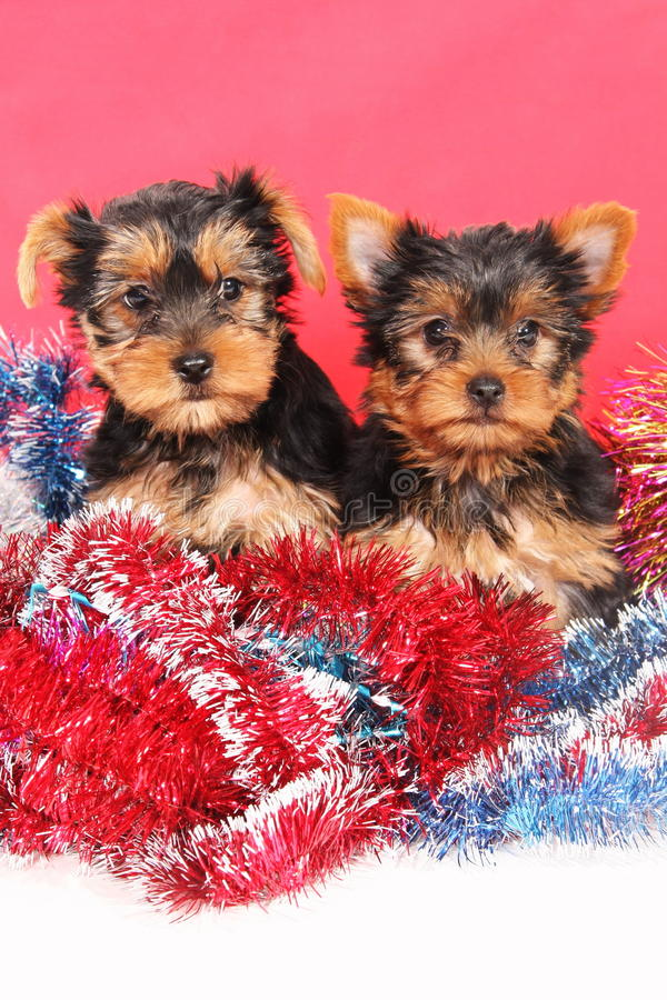 The puppies in the serpentine stock photography