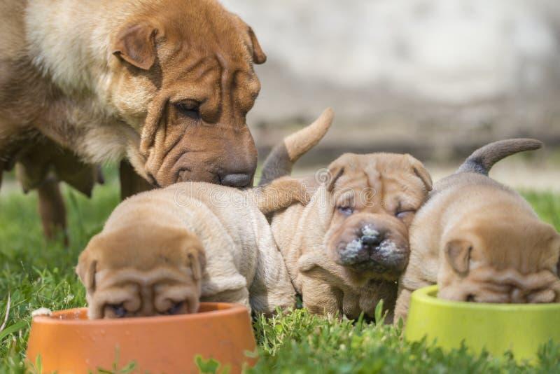 puppies sharpei στοκ φωτογραφία