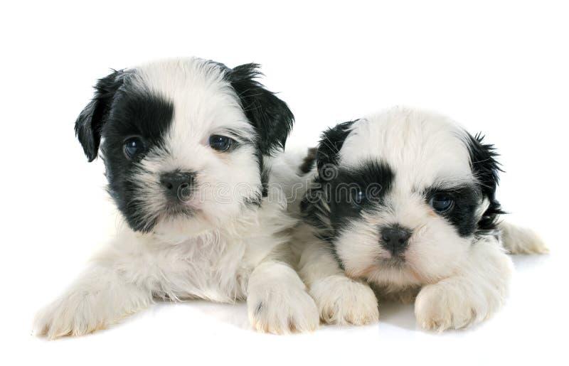 Puppies shih tzu royalty free stock photo