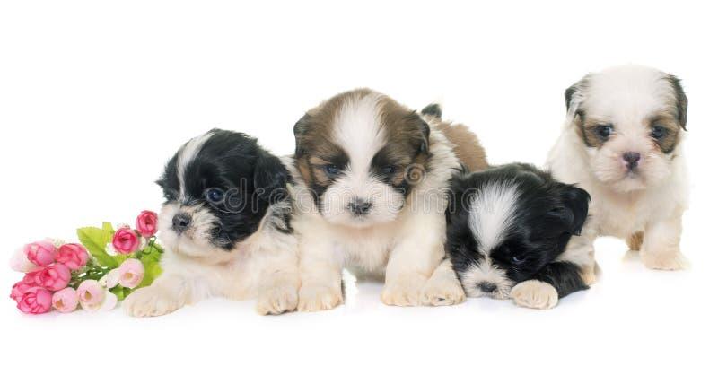 Puppies shih tzu royalty free stock photos