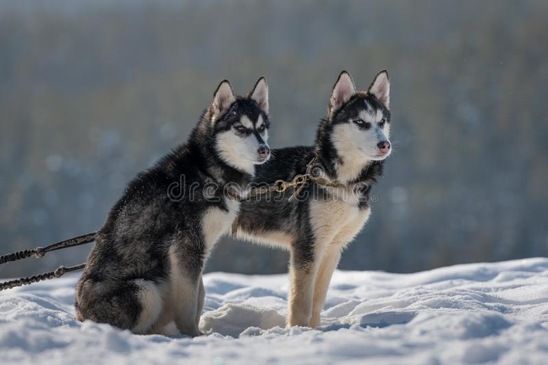 puppies from Siberian Husky kennel waiting for tourists to take pictures stock images