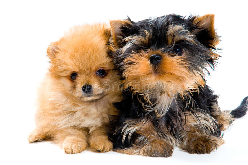 Puppies in studio. On a neutral background royalty free stock photos