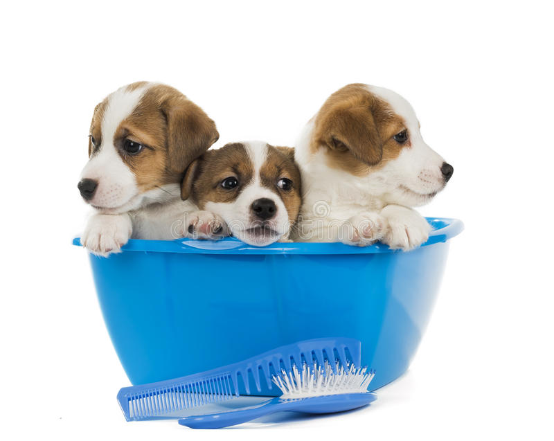 Puppies wash. On a white background royalty free stock photos