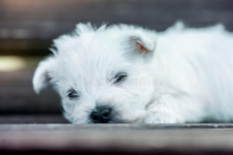 Puppies west highland white terrier westie dog on a wooden bench outdoors in park royalty free stock image