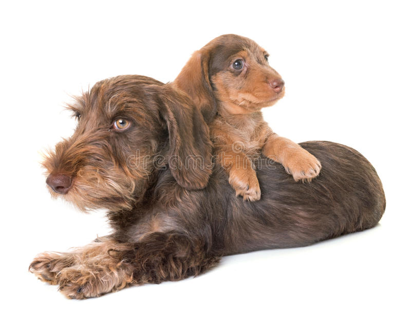 Puppies Wire-haired Dachshund. In front of white background stock photo