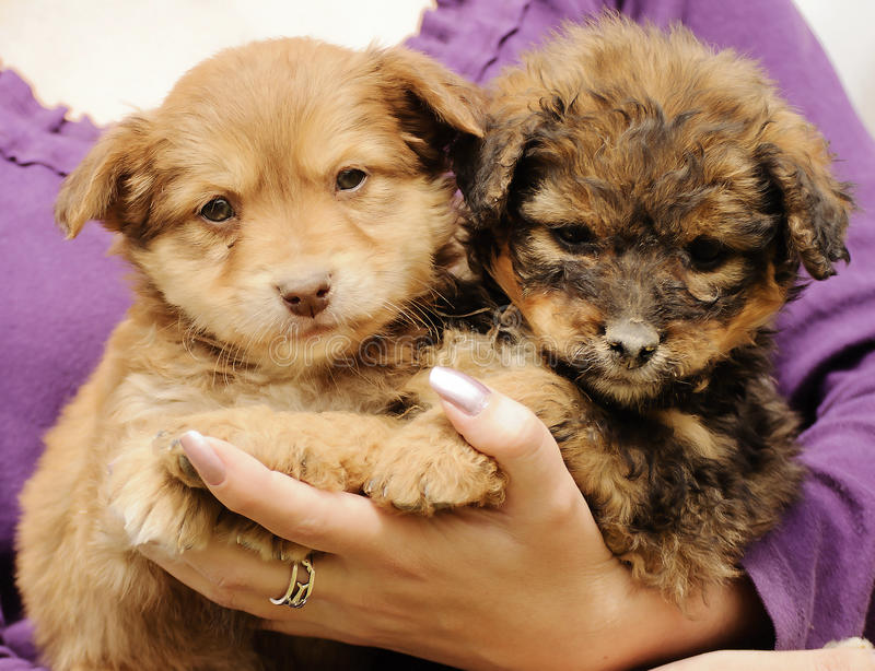 Puppies. Woman holding two adorable puppies royalty free stock image