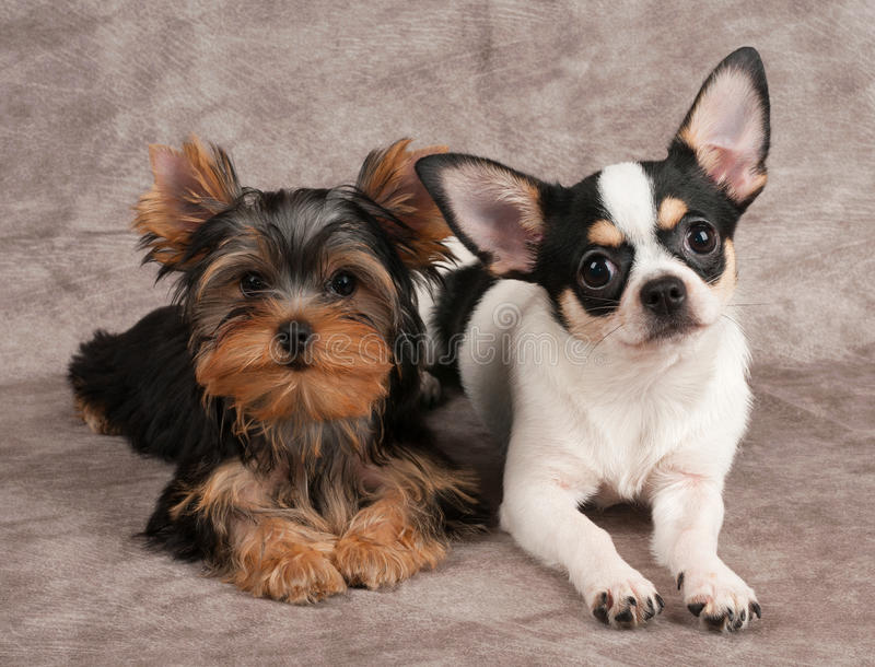 Puppies of Yorkshire Terrier and Chihuahua stock images