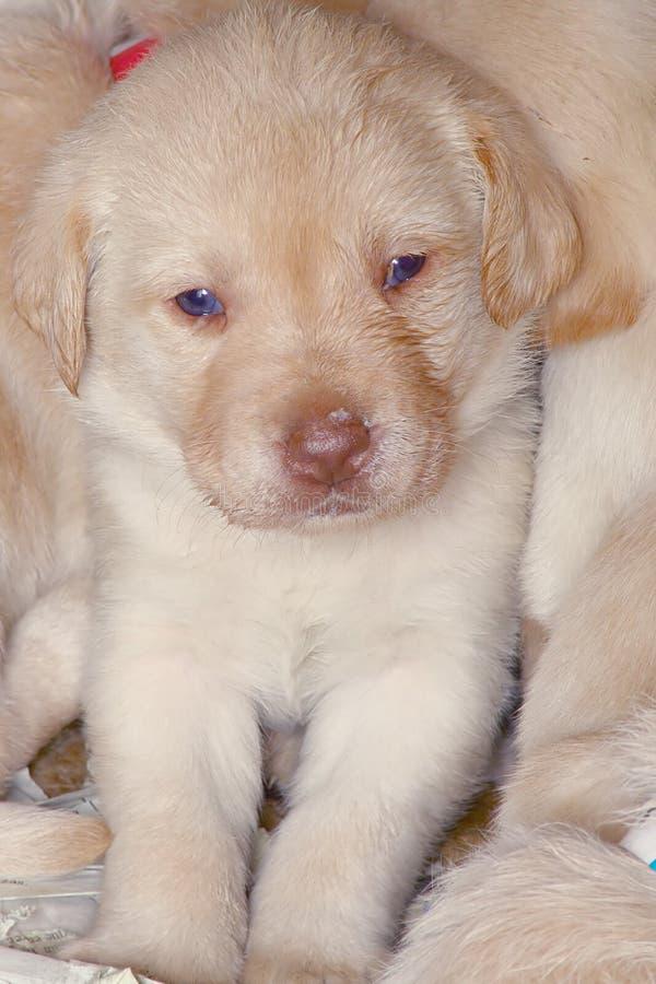 Puppies5.jpg image libre de droits