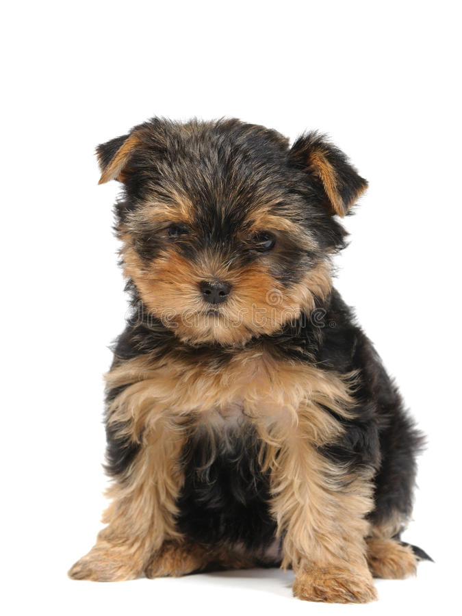 Download Puppy stock photo. Image of purebred, background, close - 10828932