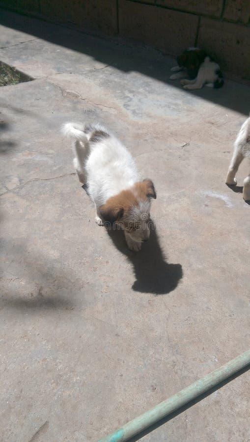 Puppy foto de stock royalty free